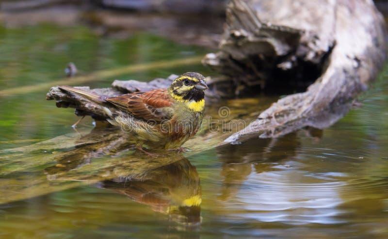 Manlig Cirl Bunting på waterhole arkivbild