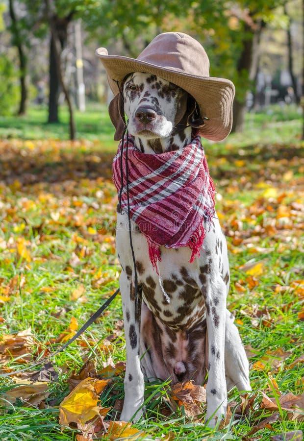 Manlig Dalmatian hund i en brun cowboyhatt och pläd mot bet arkivfoton