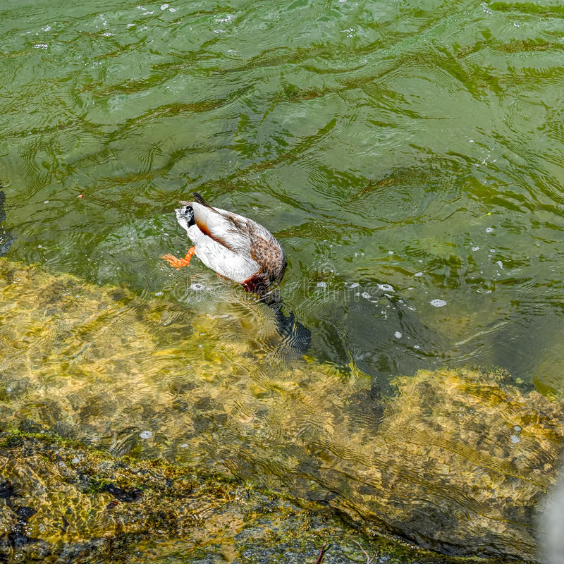 Manlig dykningand royaltyfri fotografi