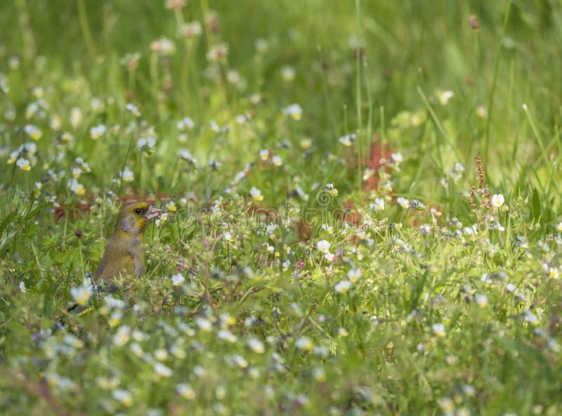 Manlig europeisk greenfinchChlorischloris som matar på frö på den gröna blommande ängen Selektivt fokusera royaltyfria foton