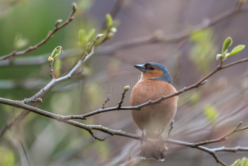 Manlig fågel för bofink på ett träd royaltyfria bilder