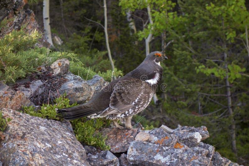 Manlig fågelvår för prydlig skogshöns som parar ihop ritualer Alberta Foothills royaltyfria bilder