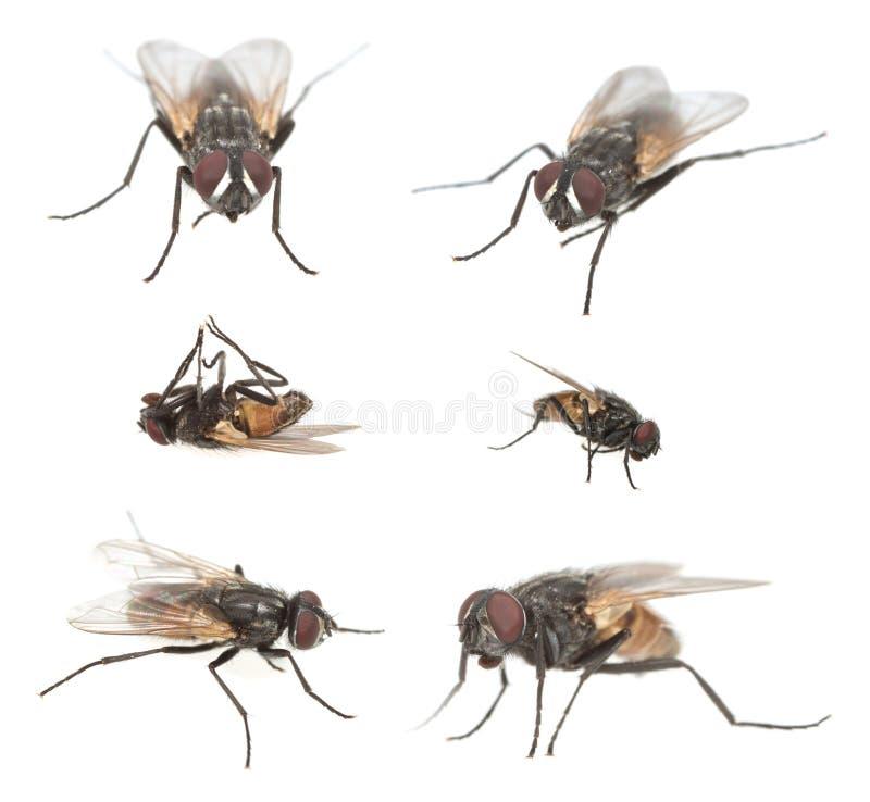 Manlig fluga, Muscadomesticasamling som isoleras på vit bakgrund arkivfoton