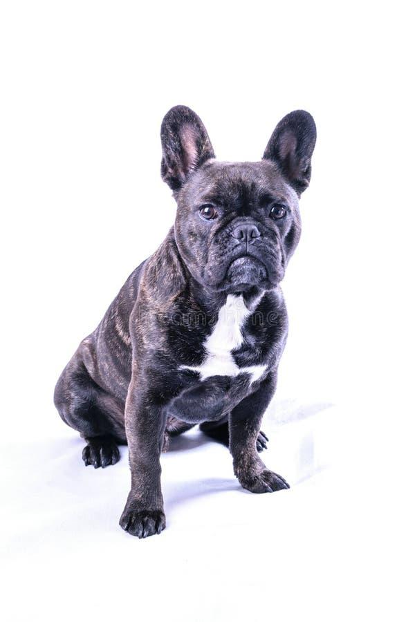 Manlig fransk bulldogg på vit royaltyfri fotografi