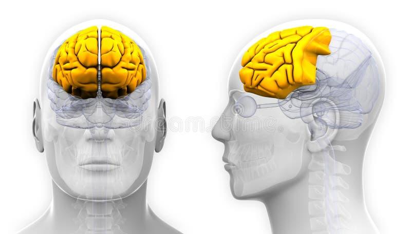 Manlig Frontal lob Brain Anatomy - som isoleras på vit royaltyfri illustrationer