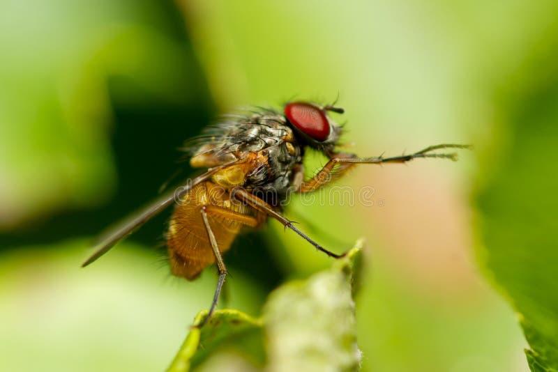 Manlig gemensam fruktfluga, Drosophila Melanogaster arkivbild