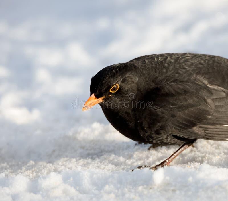 Manlig gemensam koltrast på snö royaltyfria foton