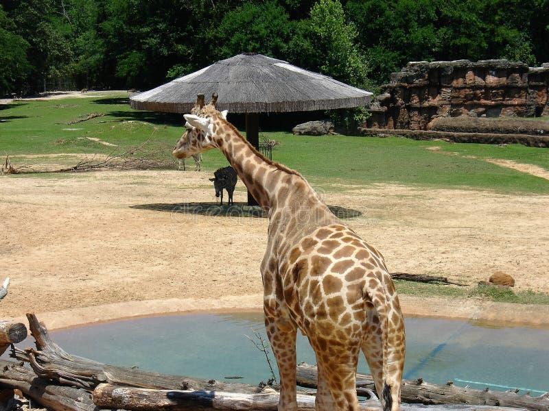 Manlig giraff på zoo royaltyfria bilder
