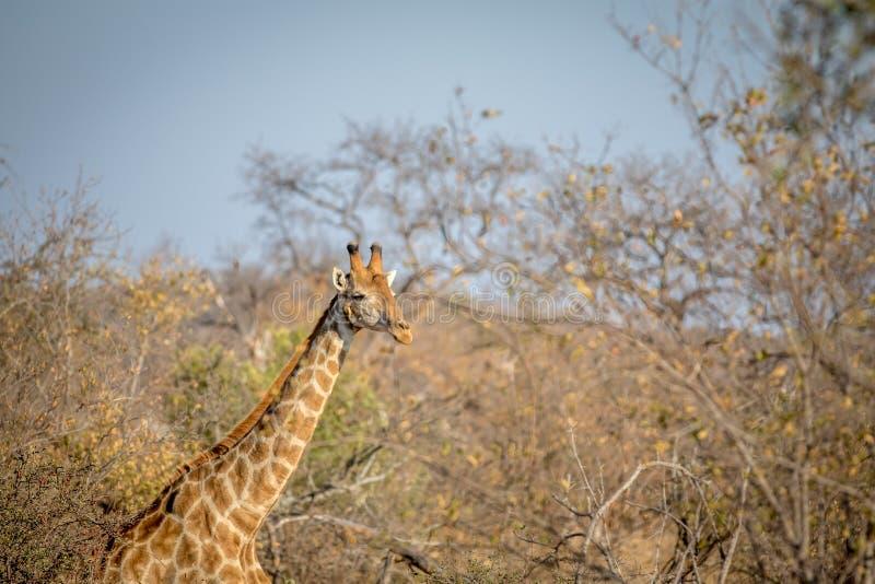 Manlig giraff som ut klibbar i busken royaltyfri fotografi