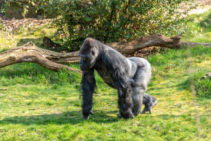 Manlig gorilla som kör runt om området i sökande av mat royaltyfri fotografi