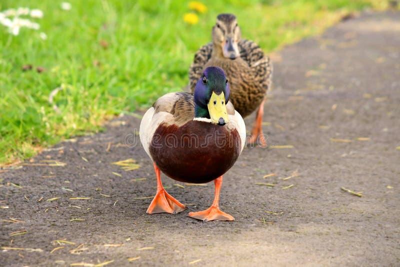 Manlig gräsand Duck Female och manänder arkivbild