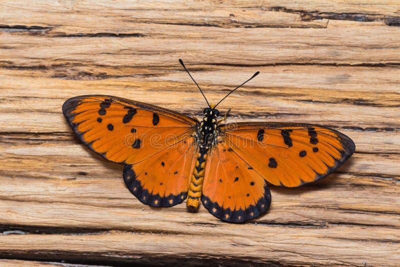 Manlig gulbrun costerfjäril arkivfoto