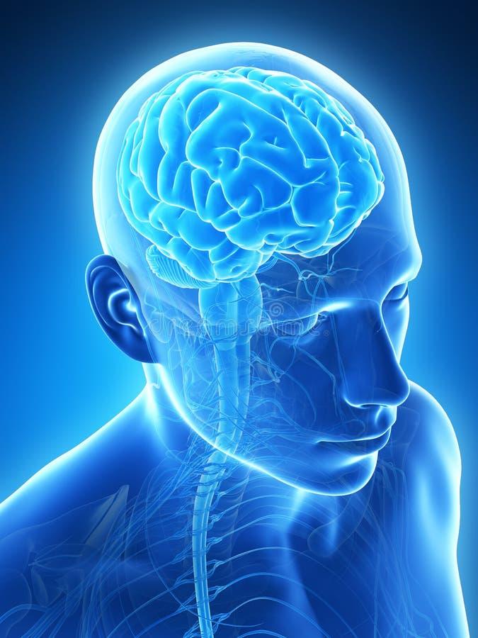 Manlig hjärna royaltyfri illustrationer