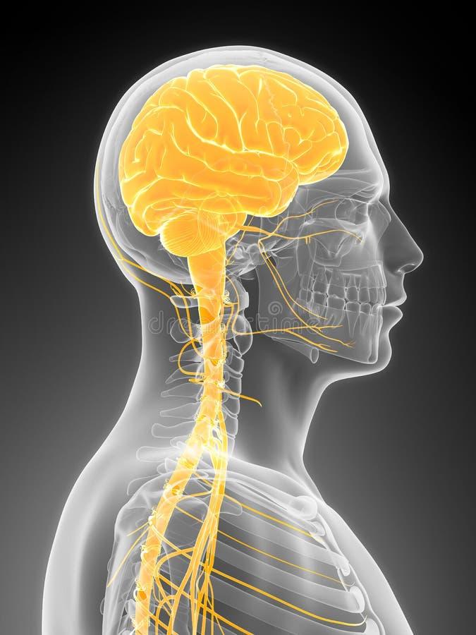 Manlig hjärna stock illustrationer
