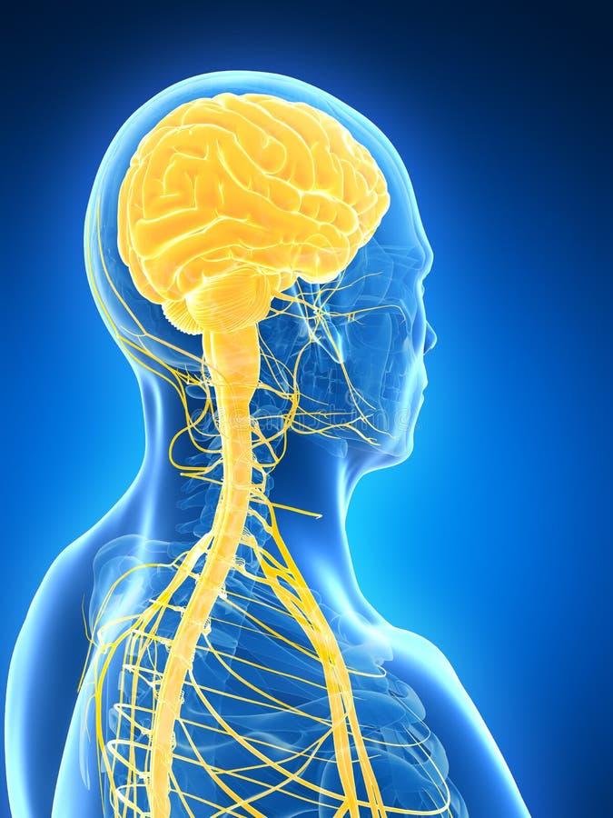 Manlig hjärna vektor illustrationer