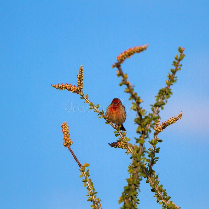 Manlig husfink i avelfjäderdräkt på en Ocotillokaktus i öken för Arizona ` s Sonoran fotografering för bildbyråer