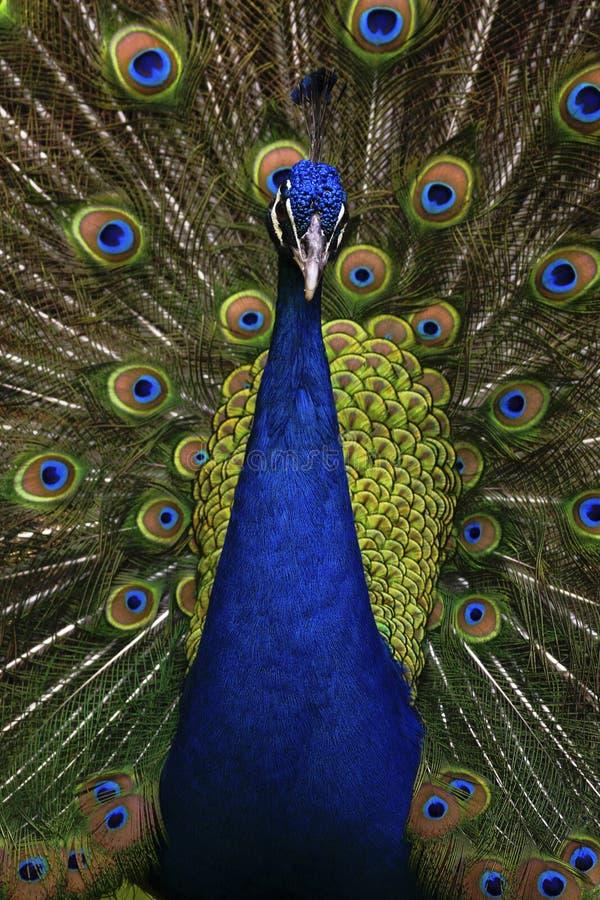 Manlig indisk påfågel för härlig fågel, Pavocristatus som visar dess fjädrar, med den öppna svansen royaltyfria bilder