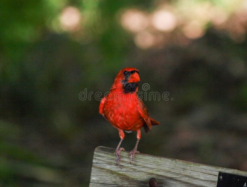 Manlig kardinal Bird Watching från bänk royaltyfri foto