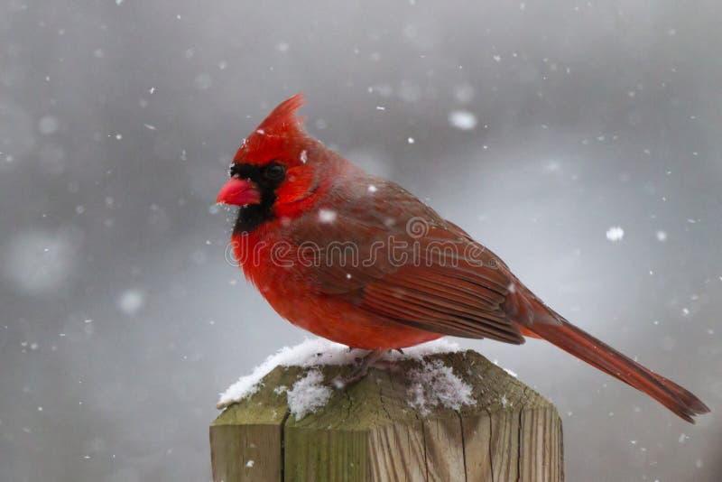 Manlig kardinal In en snöstorm arkivbilder