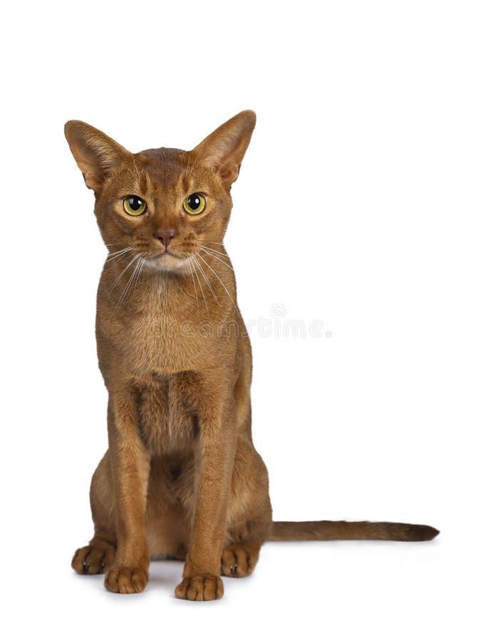 Manlig katt för stilig utmärkt ung syraAbyssinian som isoleras på vit bakgrund royaltyfri bild
