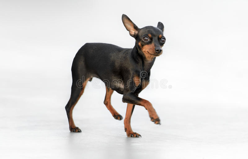Manlig kniptång Toy Dog royaltyfri fotografi