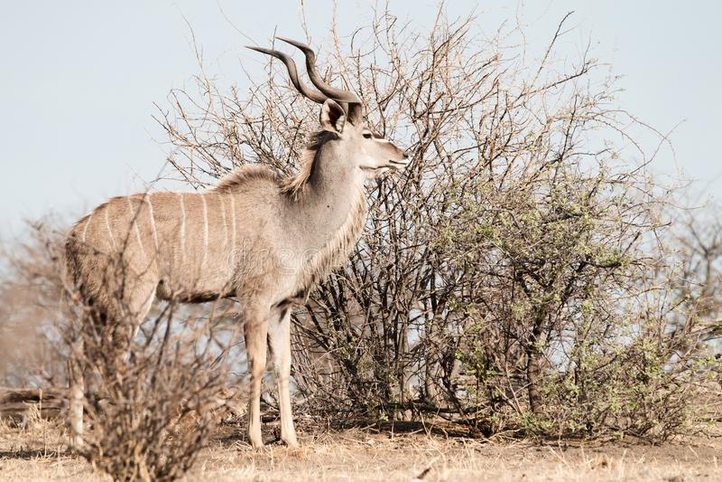Manlig Kudu antilop bak en buske royaltyfri bild