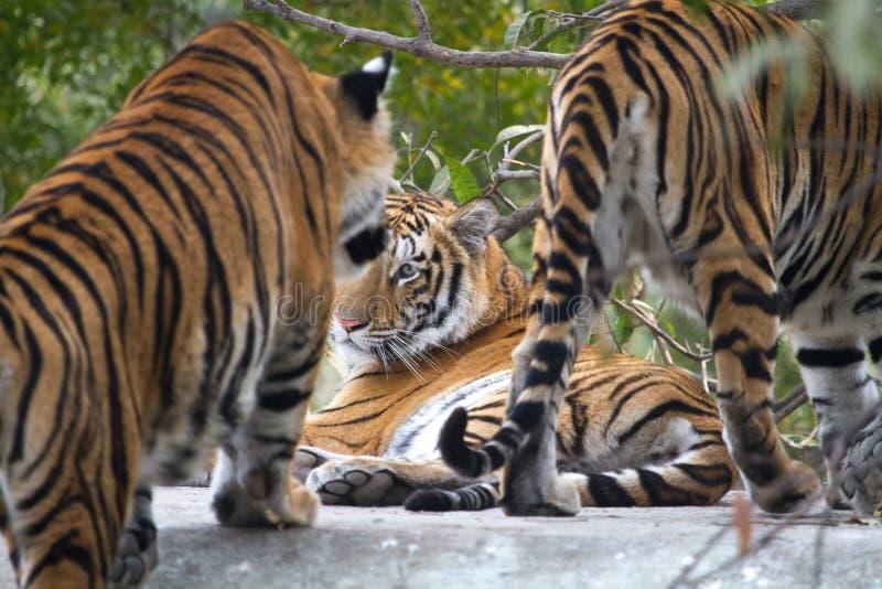 Manlig kunglig Bengal tiger med hans familj arkivfoto