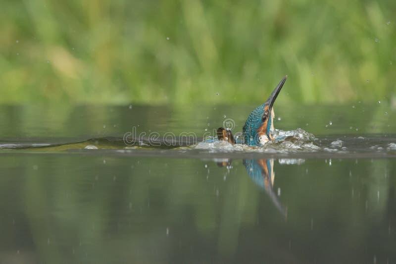 Manlig kungsfiskare royaltyfri bild