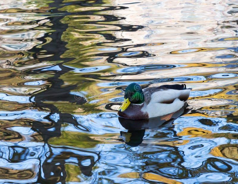 Manlig lös and på vattnet royaltyfria foton