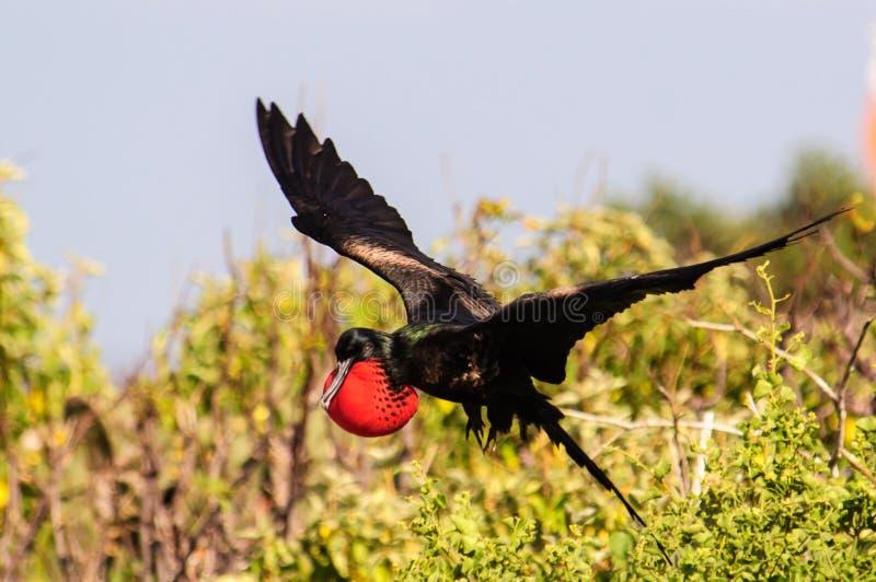 Manlig landning för fregattfågel royaltyfri foto