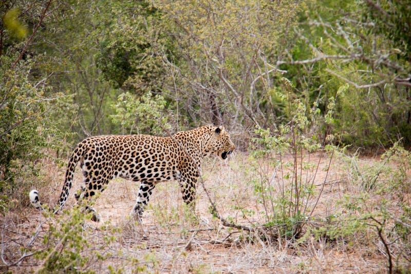 Manlig leopard på kringstrykandet arkivfoton