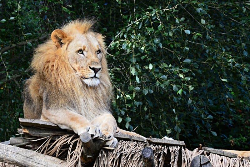 Manlig Lion Panthera leo för vuxen människaSouthwes afrikan som melanochaita kopplar av på träskjul arkivbilder