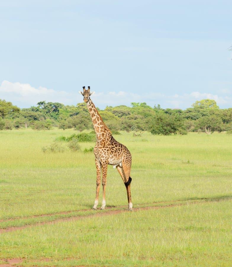 Manlig Masaigiraff royaltyfri bild