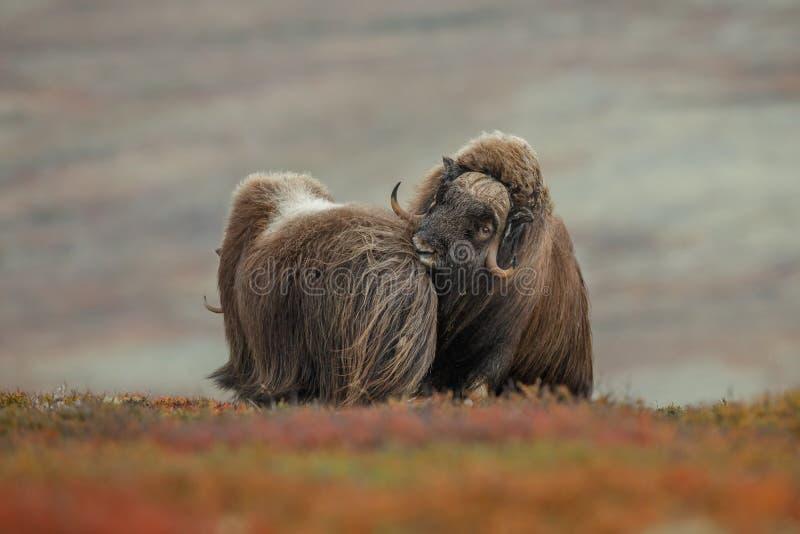 Manlig myskoxe med en kvinnlig från hans flock royaltyfria foton