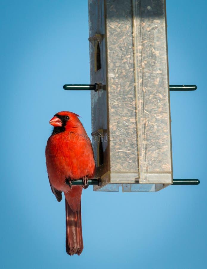 Manlig nordlig kardinal - Cardinalis cardinalis royaltyfria bilder