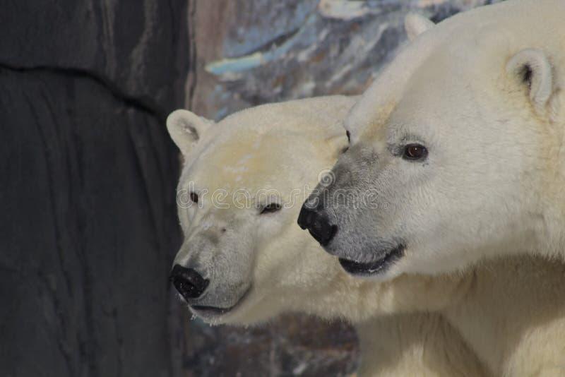 Manlig och kvinnlig isbjörn, Kanada arkivfoton