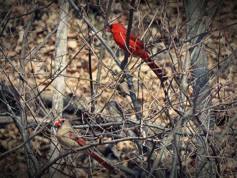 Manlig och kvinnlig kardinal Late Autumn fotografering för bildbyråer