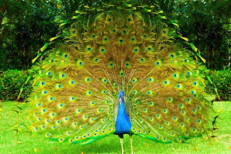 Manlig påfågel. arkivbilder