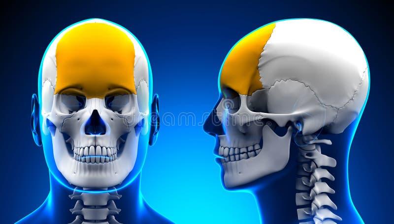 Manlig pannbenskalleanatomi - blått begrepp royaltyfri illustrationer
