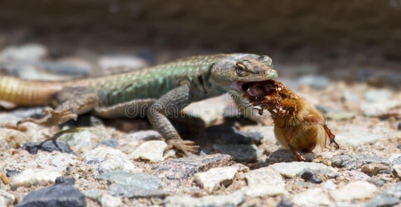 Manlig Platysaurus ödla som äter ett brunt hårigt kryp royaltyfri fotografi