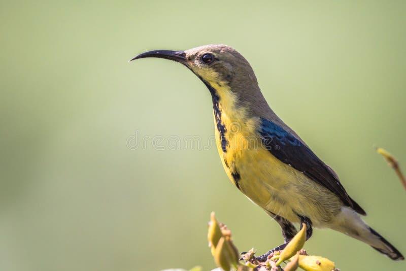 Manlig purpurfärgad sunbird, i non att föda upp fjäderdräkt royaltyfri fotografi