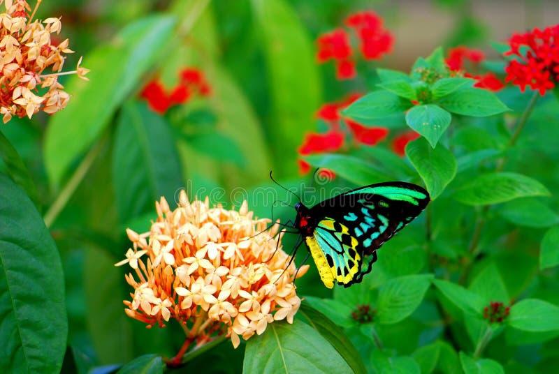 Manlig röseBirdwing fjäril som matar i blommor arkivbilder