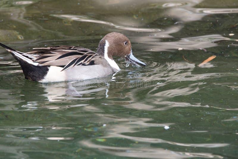 Manlig Ringed Teal Duck simning över ett damm royaltyfri foto