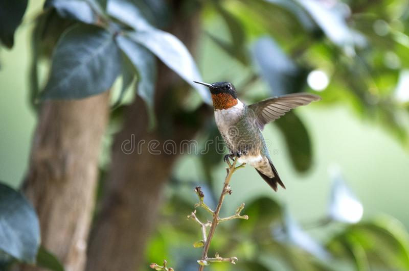 Manlig Rubin-throated kolibri, Georgia USA royaltyfria bilder