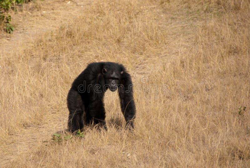 Manlig schimpans fotografering för bildbyråer
