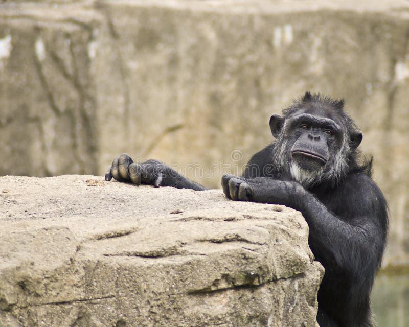 Manlig schimpansadvertizing royaltyfria bilder
