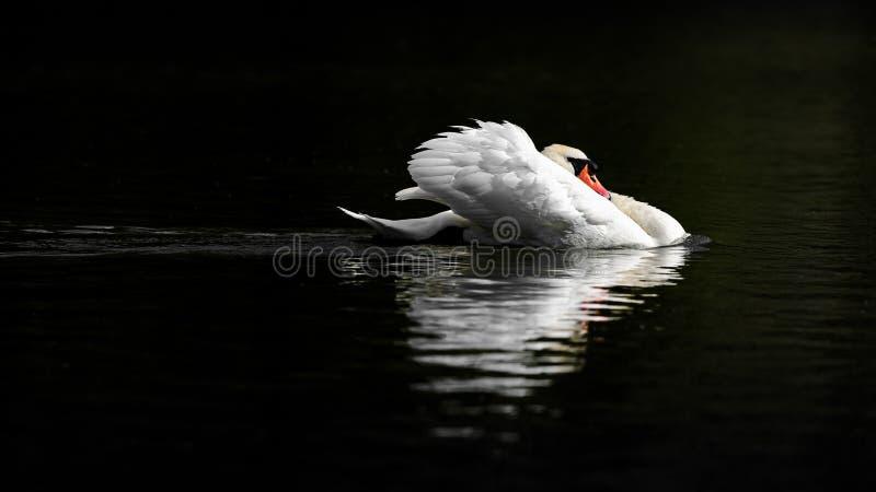 Manlig stum svan i hotställing på mörkt vatten royaltyfri fotografi