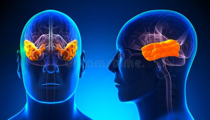 Manlig temporal lob Brain Anatomy - blått begrepp vektor illustrationer