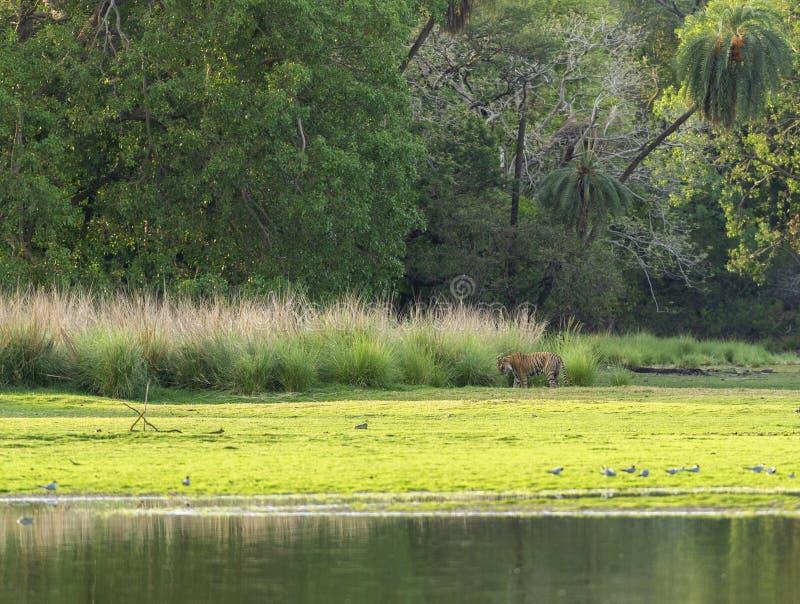 Manlig tiger i den Ranthambhore nationalparken arkivbilder