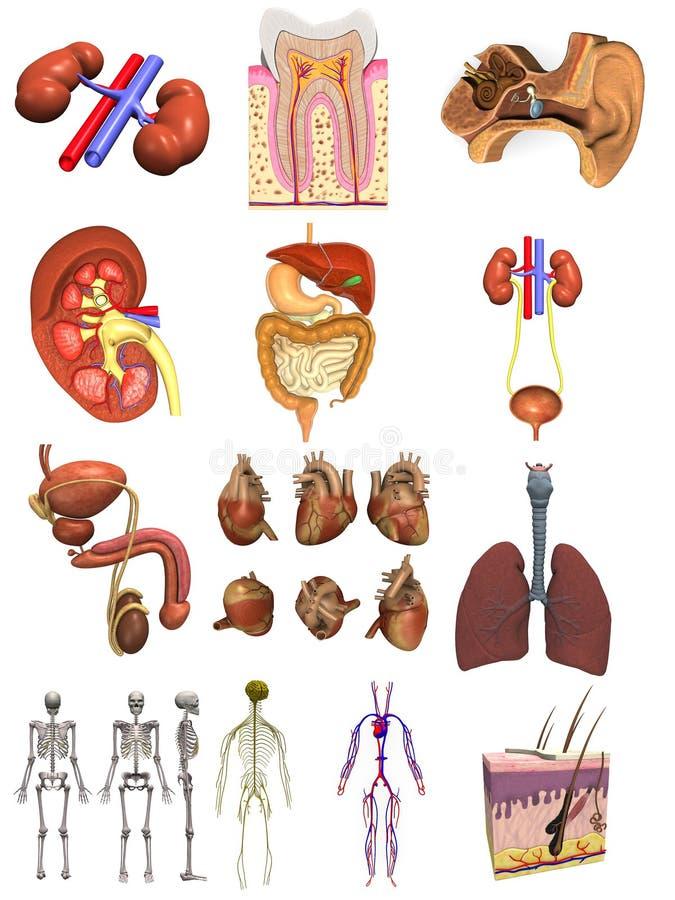 Manlig uppsättning för organ 12 royaltyfri illustrationer
